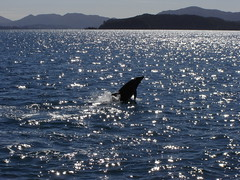 Dolphin in the Bay Of Islands