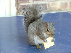 Waitress! These tea biscuits are pretty good! I want more! Where is the tea??? (anita_b) Tags: food animal animals rodent furry squirrel squirrels biscuit hungry teabiscuit