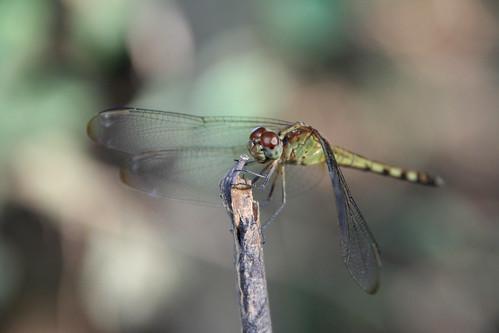 animals insects dragon fly macro Libelula