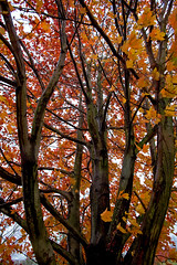 Maple + Haiku (Bruce Livingston) Tags: autumn tree fall maple haiku bluearmyshrine musconetcongwatershed