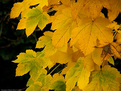 The gold of autumn (Cjasar) Tags: autumn italy leaves foglie gold autunno oro aur friuli acerpseudoplatanus fril aceromontano siarade ajardimont mountainmapletree fueis