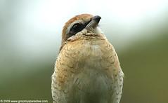 Brown Shrike (Anupam Dash Photography) Tags: brown nature beauty forest canon lens wildlife sigma kerala jungle potrait shrike brownshrike specanimal 400d 150500mm vosplusbellesphotos munnarbirds