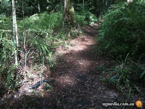 Land mullet (Egernia major)