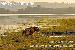 christmas (dickysingh) Tags: wild india lake outdoor wildlife tiger bigcat aditya wetland ranthambore singh ranthambhore dicky adityasingh ranthamborebagh theranthambhorebagh wwwranthambhorecom