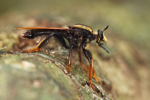 ... giant Robberfly ...
