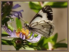 Pine White Butterfly (TT_MAC) Tags: flowers butterfly victoriabc ineffable neophasiamenapia bej pinewhitebutterfly wildlife|butterfly wildlife|