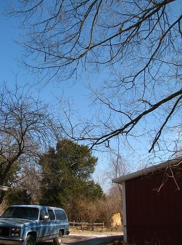 blue skies behind the oak tree