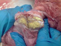 Tuberculosis bovina (Veterinario en matadero) Tags: tuberculosis bovina
