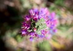 Cumbre (Leandro MA) Tags: flor morado leandroma