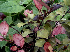 Pseudowintera colorata burgundy delight (macadee) Tags: newzealand native burgundy delight marlborough colorata pseudowintera