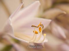 Hosta in bloom (johanna151) Tags: flower macro nature nikon bloom hosta otw natureplus goldstaraward
