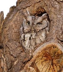 Golden Hour Darling (Slow Turning) Tags: megascopsasio easternscreechowl greymorph graymorph bird raptor eyesopen knothole tree cavity trunk bark winter southernontario naturallight noflash