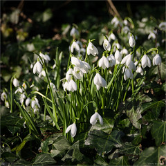 Simply Snowdrops