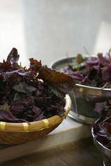 梅干しづくり・赤紫蘇を洗って。