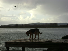 Perro Gaviota (a.rios) Tags: perro gaviota costanera valdivia