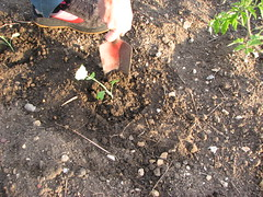 Fortify (karyn&francis) Tags: vegetables garden jardin satisfaction allotment growyourown