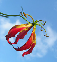 The blue sky is back and the flame lily is still blooming ! (heurtoirfan, de retour lentement) Tags: blue red sky flower yellow backyard lily florida bluesky flyinghigh naturesfinest flowerthemesadminfave gloriosasuperba flamelily
