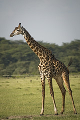 High standard (Jose Antonio Pascoalinho) Tags: africa nature tanzania nationalpark nikon wildlife biosphere giraffes environment mammals ecosphere globalwarming bornfree lakemanyara herbivore biodiversity d300 bigneck maasaigiraffe letssaveourplanet zedith afvr80400mm14556ed