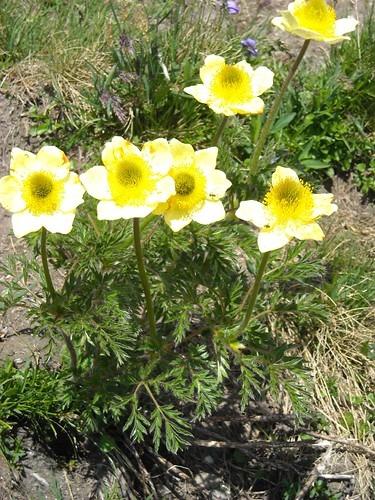 Yellow alpine pasqueflower (Pulsatilla sulphurea)