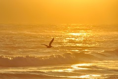 24 carat Gold (Images by John 'K') Tags: ocean california sunset sky sun bird gold golden waves pacific pelican pacificocean davenport johnk d5000 theperfectphotographer johnkrzesinski randomok