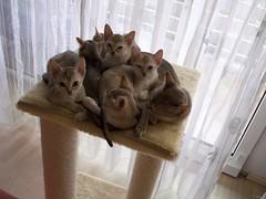 We are family (singapuracats) Tags: cat katze singapura novalis singapurakatze