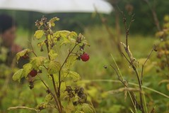 Old raspberry Patch