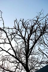 (Z ~ photography) Tags: blue sky black tree dead bahrain       natoofa