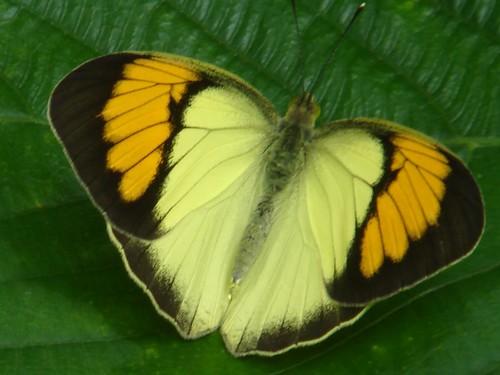 unedited - orange tip butterfly