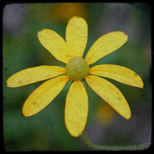 219:365 Fake TTV daisy
