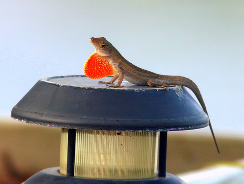 Brown Anole 20090829