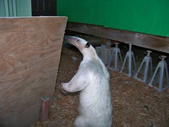 Pua sniffs the pet gate