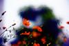 say hello to the September sky (moaan) Tags: life leica sky flower digital 50mm flora dof bokeh utata m8 bloom flowering 2009 cosmos blooming f095 inbloom uptothesky 黄花コスモス cosmossulphureus canonf095 inlife leicam8 canon50mmf095 orangecosomos gettyimagesjapanq1 gettyimagesjapanq2