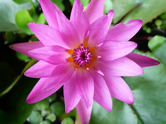 Tropical Water Lily (monetmama) Tags: pink flower waterlily     tropicalwaterlily