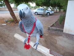 I'm ready I'm ready I'm ready (shimmertje) Tags: bird hail cat grey persian al walk african parrot tuxedo africangrey stick congo kc leash domino harness shanlung recall walkies cag dommie featheryfriday shamaliya riamfada