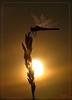 """BROKEN SUN (Siprico - Silvano) Tags: sun canon tramonto dragonfly natura macros sole libellula macrofotografia cernuscosulnaviglio flickrsbest fotografia"""" macrofografia """"macro buzznbugz siprico fotografianaturalistica soloreflex 100commentgroup """"potofgold"""" pricoco wwwsipricoit httpwwwsipricoit silvanopricoco wwwpricocoorg"""
