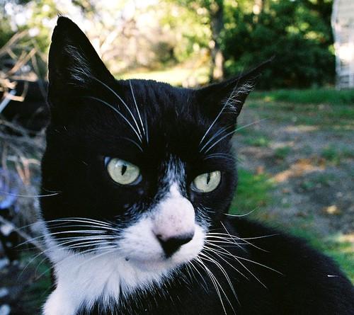 Tuxedo Cat 'Shemp'