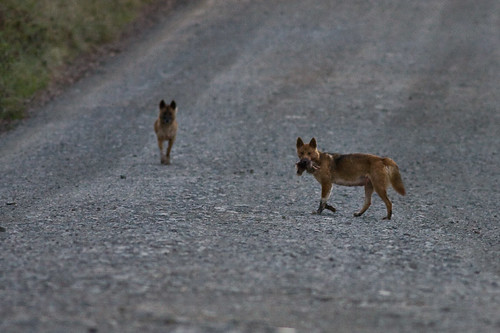 Wild Dogs/Dingos with prey