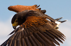 Harris Hawk Approach (J L Woody Wooden) Tags: harrishawk parabuteounicinctus harrishawkinflight