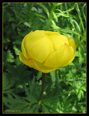 Trollius europareus L. ( Annieta  Off / On) Tags: italy holiday flower color nature fleur june yellow juni canon ilovenature vacances vakantie juin italia natuur powershot piemonte giallo damn s2is wildflower geel farbe colori canonpowershots2is 2009 couleur allrightsreserved aosta blum itali bloem valledaosta valdaosta kleur alpineflower mountainflower trollius aostavalley annieta bej wildebloem awesomeblossoms valledaosta usingthisphotowithoutpermissionisillegal