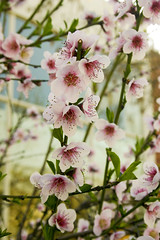 Cherry blossom (nina's clicks) Tags: flowers flores flower canon
