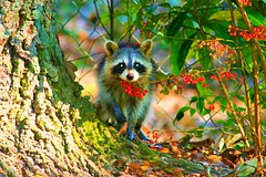 Mapache with berries (Raccoon) (juliealicea1947) Tags: yard louisiana berries racoon mapache