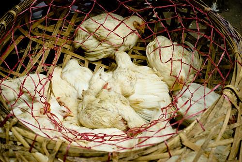 La fin est proche pour ces poulets par Damien [Phototrend.fr]