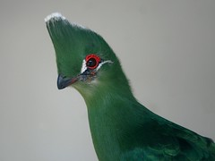 Touraco Vert (home77_Pascale) Tags: bird zoo oiseau touraco specanimal attilly zoodattilly birdperfect touracovert