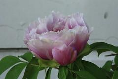 Peony Flower 2