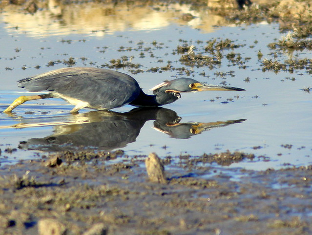 Tricolored Heron stalking a fish 20110602