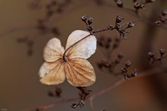 Old (eleni m ( busy remodeling house and garden)) Tags: old quote vintage brown nature flower hydrangea hortensia branch dof outdoor macro winter frost