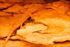 (653) Gecko (avalon20_(mac)) Tags: africa travel sahara nature geotagged desert egypt 500 misr eos40d schulzaktivreisen