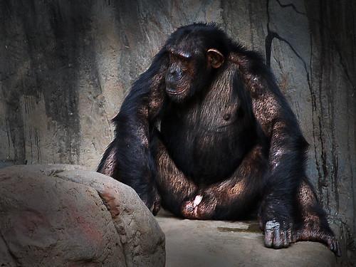 Chimpanzé  dépressif. Cest la crise pour tout le monde...