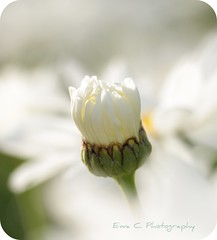 heavenly white (Ewa Ciebiera - Dewberry Parfum) Tags: light inspiration macro colours bokeh pastel softness innocent smooth dream harmony innocence dreamy serene inspirational inspire pure outofthisworld tender thisisart dewberry ewa parfum iloveit lyrical ewac purplepoppy floralfantasy mondayblues beautifulshot naturesgarden languageofflowers perfectpetals bokehlicious silkybokeh flickrbronzeaward heartawardsgroup worldmasterpiece perfectphotographeraward flickrroseawards flowersmacroworld macroflowerlovers natureoftheworld crazyaboutnature doubletheexcellence thebestshot allkindsofbeauty screamofthephotographer auniverseofflowers photographersgonewild flickrsawesomeblossoms awesomeblossoms damniwishidtakenit flickrawesomeblossoms heavenlywhite flickrpicsthatsaywow mallmixstaraward artofimages quarkaward asbeautifulasyouwant addictedtoflower exquisiteworldofnature groupepavotsetcoquelicots googpoorindifferent superamazingshotgroup dewberryparfum ewacphotography ewaciebieraphotography ewaciebiera dewberryparfumphotography
