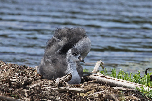 American Coot Young